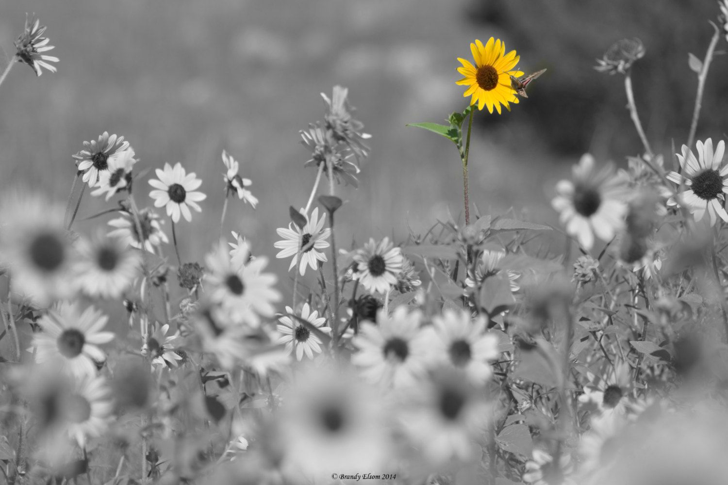 Flower photography sunflower photography black and white photography wall art color accents yellow flowers home decor sunflowers by brandyelsom on etsy