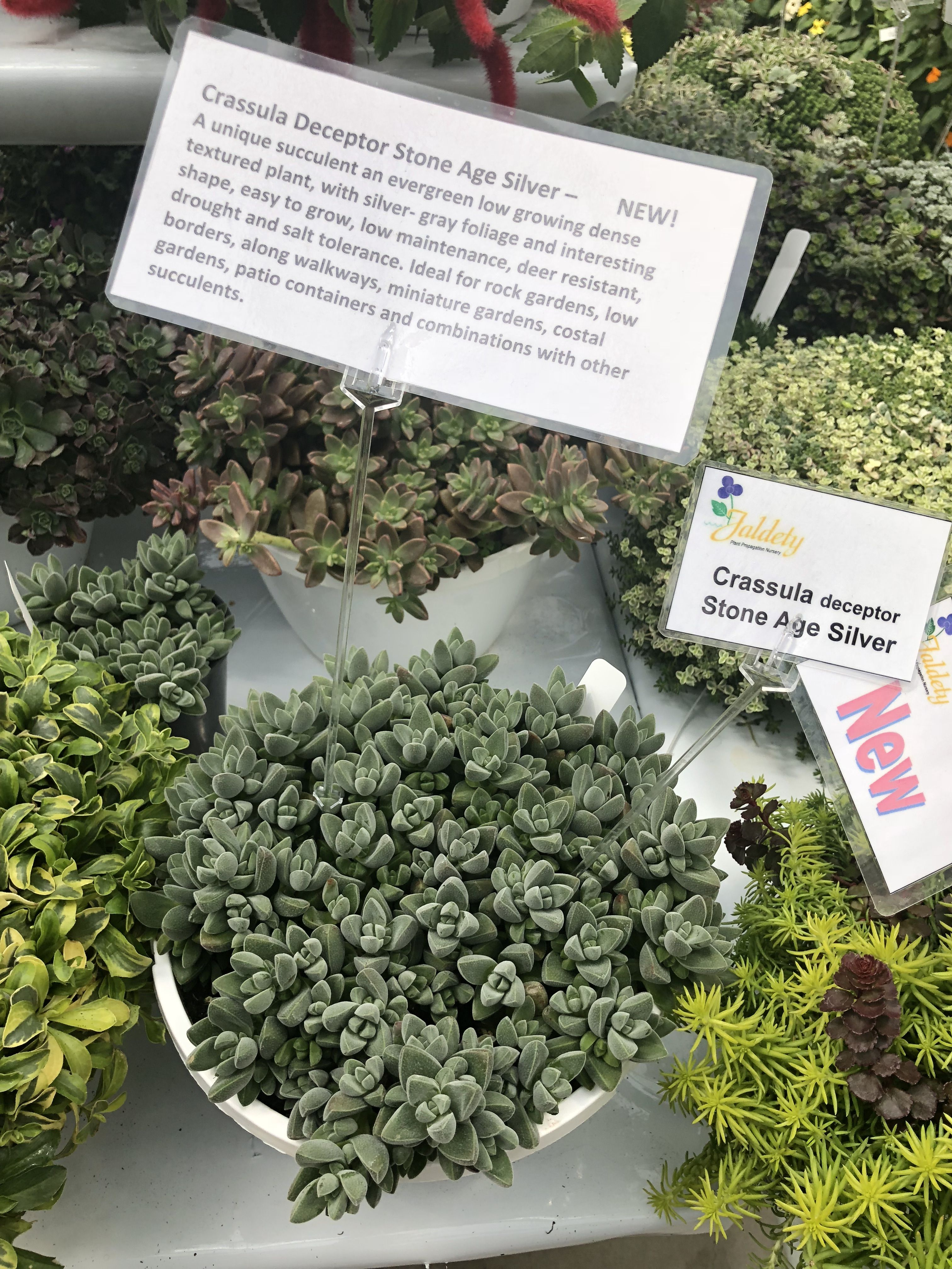 Silver Dollar Begonia Rex Live Plant 4 Pot Etsy Plants Beautiful Flowers Garden Begonia