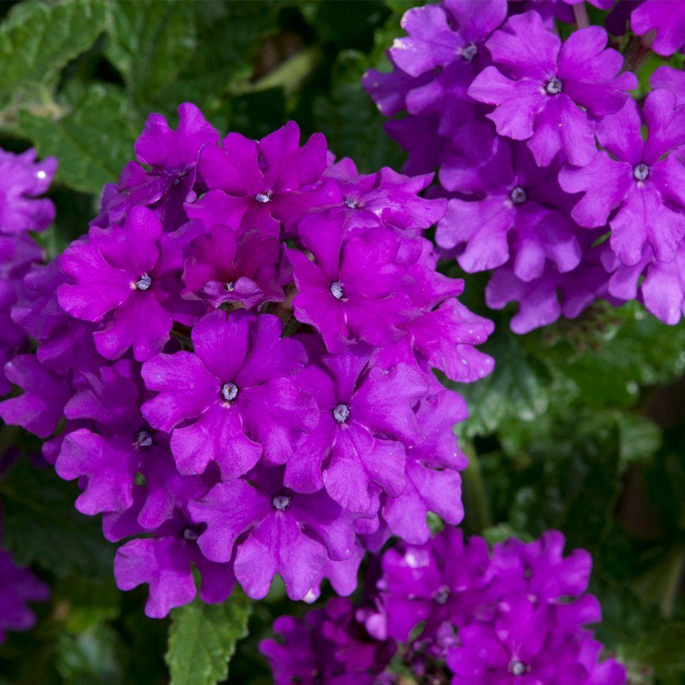Buy Verbena Endurascape Purple Plants J Parker's