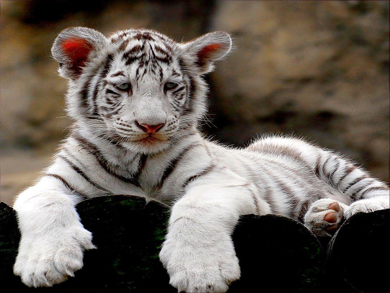 Белый тигр фото животного в хорошем