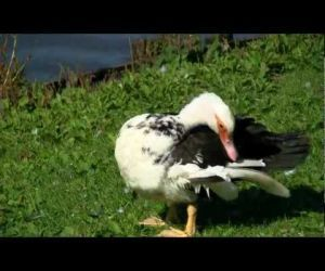 Ducks On A Pond - 1080P HD ( Video )