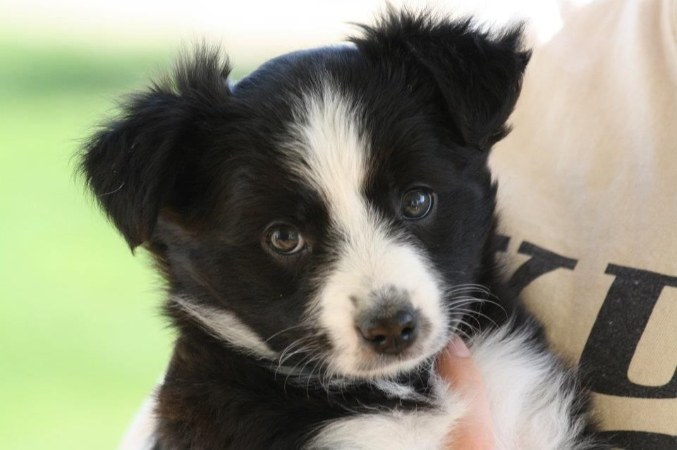 Our New Baby Shasta 71 2 Weeks Here Border Collie Mix An Animal S Eyes Have The Power To Speak A Great Lang Best Dog Breeds Border Collie Border Collie Mix