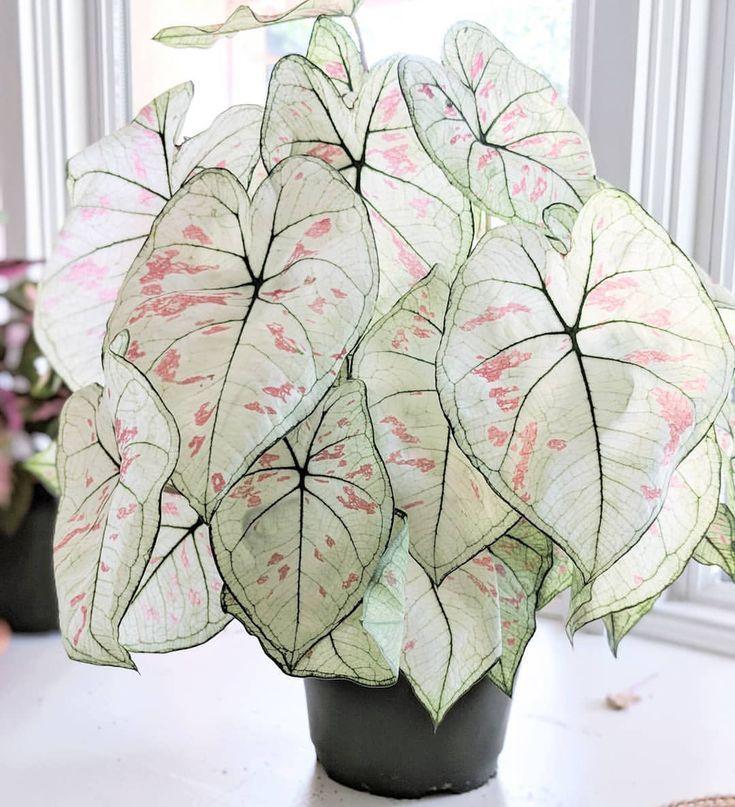 caladium  #houseplants #plantcare #interiordecoration #plantlife #livingwithplants #plantlady #plantsmakepeoplehappy #plantsindoor