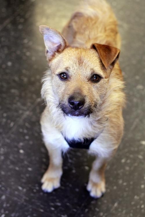 Adopt Mason On Dog Search Dogs Border Terrier