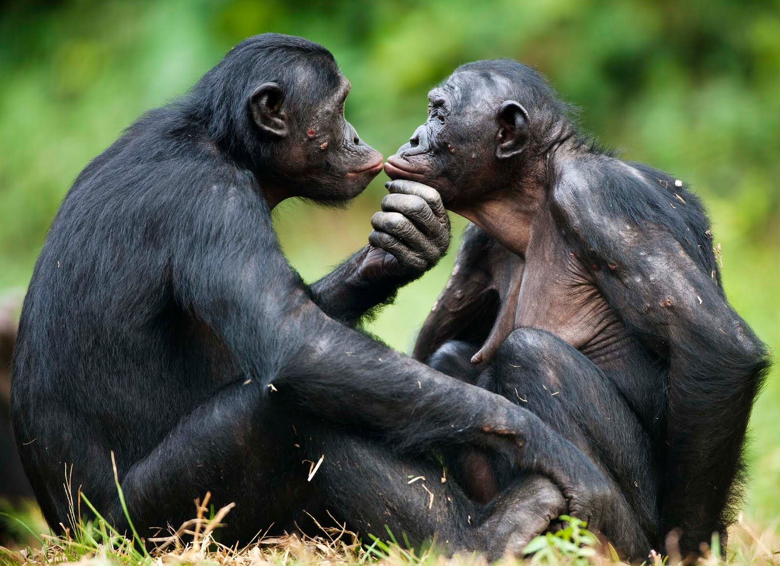 Animals Hd Wallpapers 2015 Funny Kissing Hugging Baby: Primate, Monkey And Animal