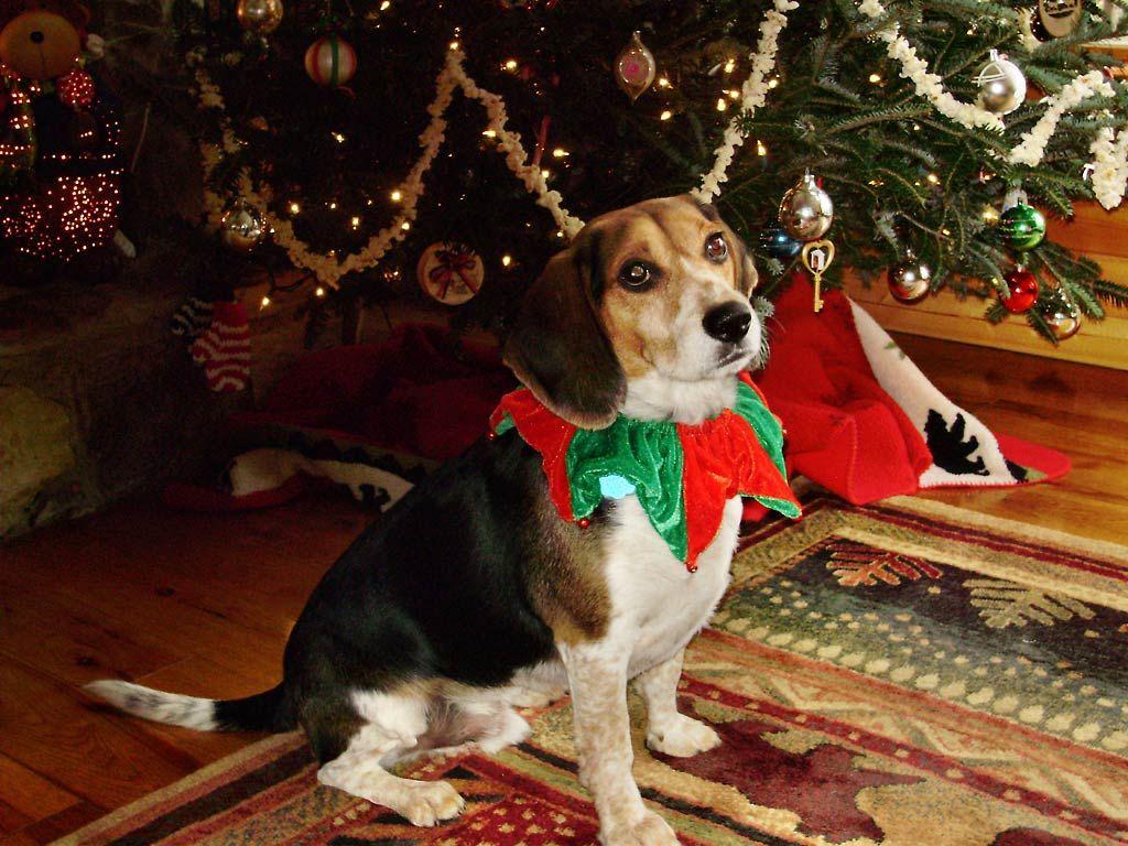 Charlie´s Christmas | Beagles Forever ❤ | Pinterest | Beagle, Pet ...