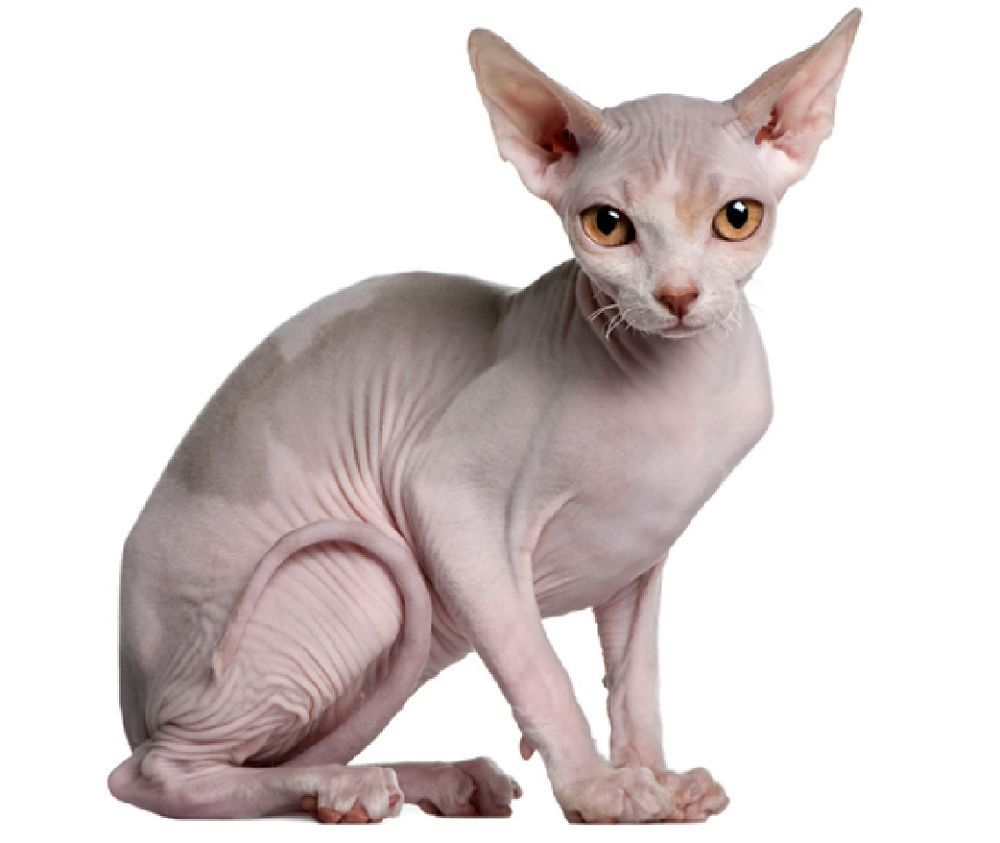 black and white photography sphynx cat Google Search
