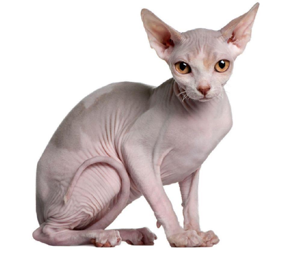 Black Skinned Sphynx Cat