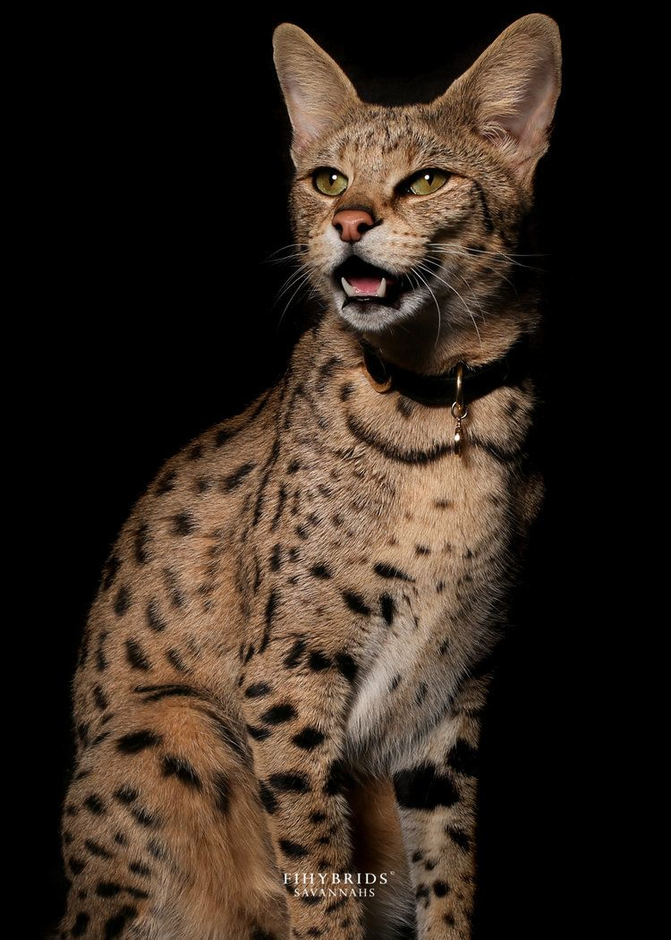 F1 Savannah Cat Savannah Chat Savannah Cat Savannah Cat For Sale