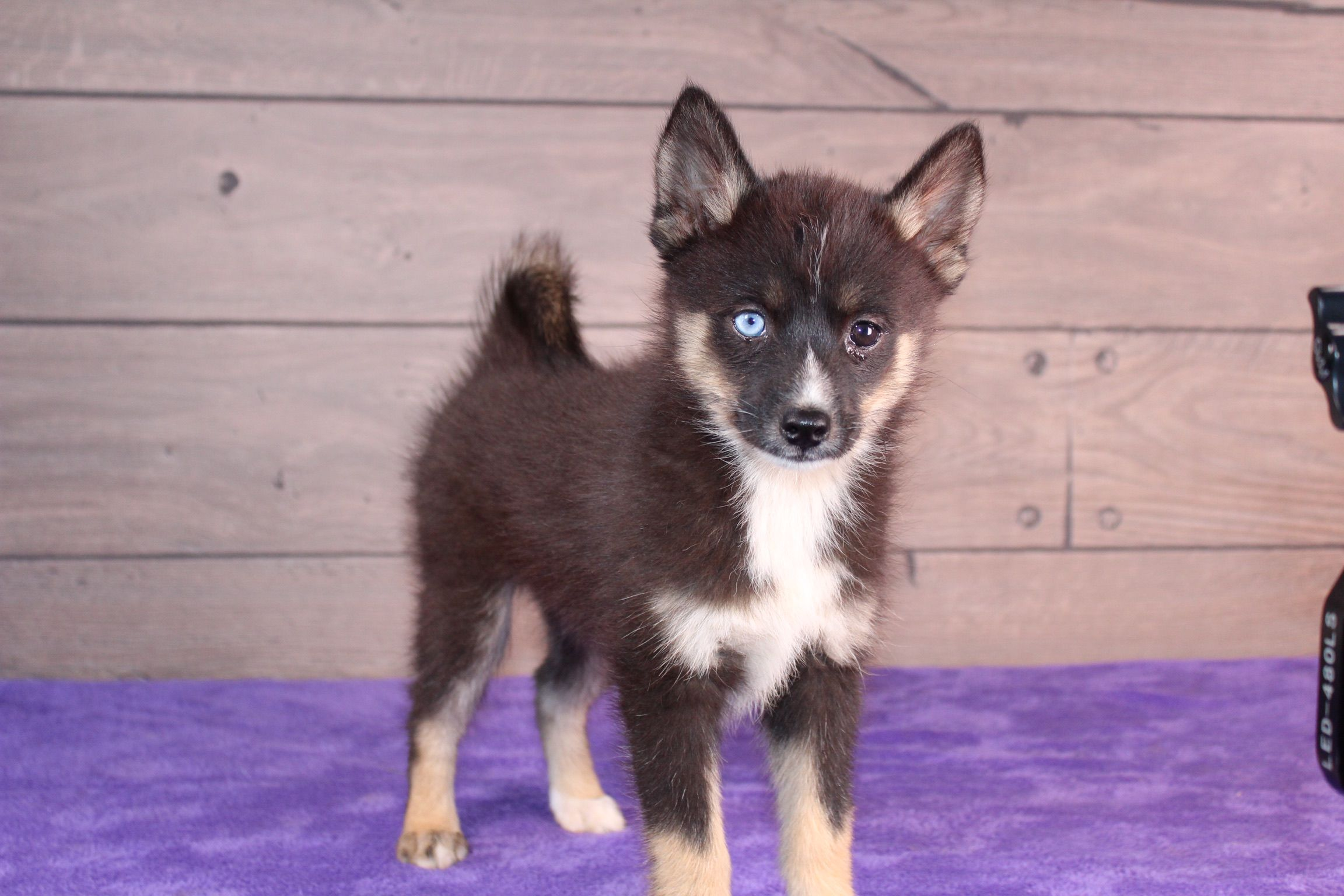 Hello There Friend Lexie Is A Beautiful Pomsky With Those