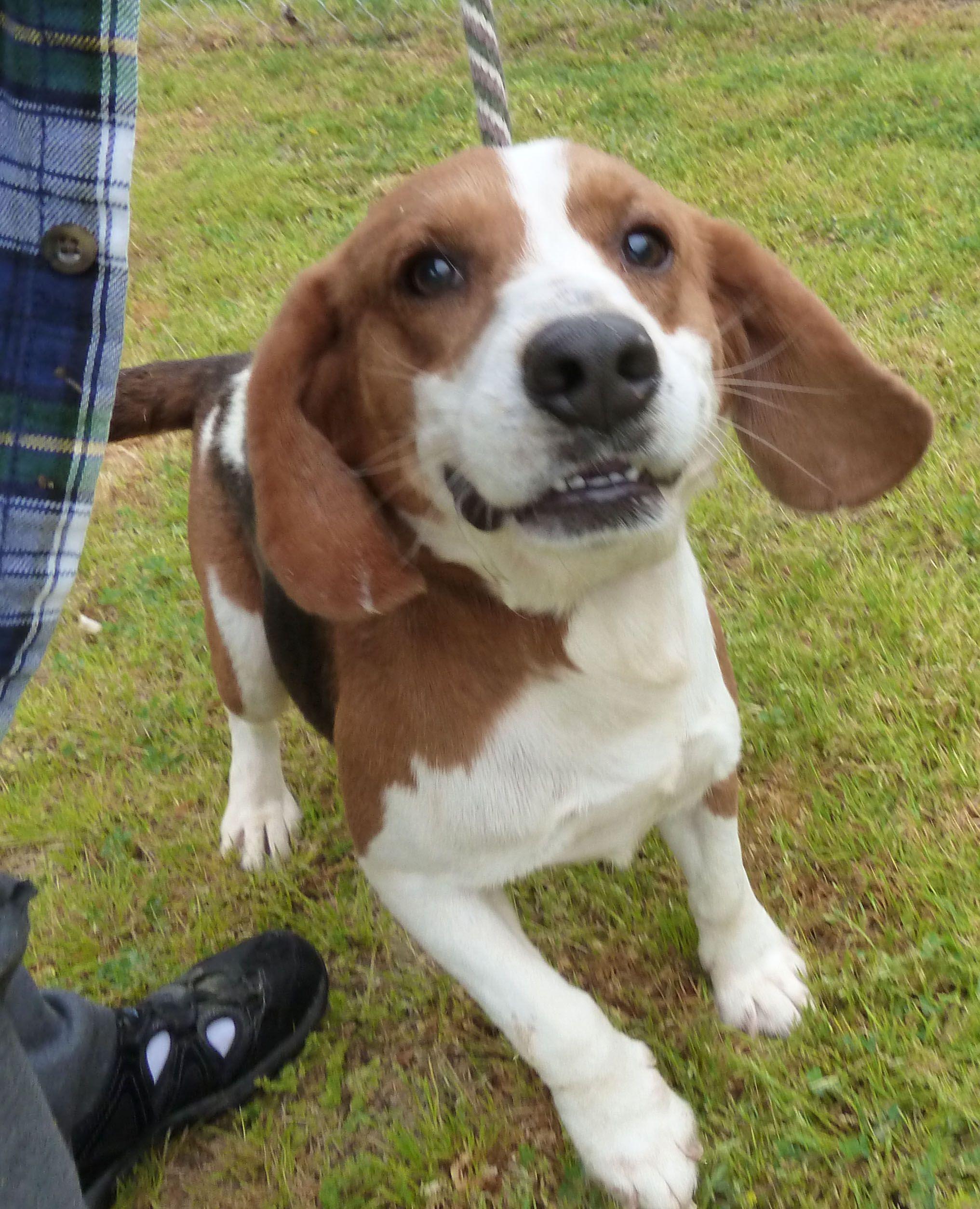 Bagle Hound dog for Adoption in Ashland, VA. ADN528742 on