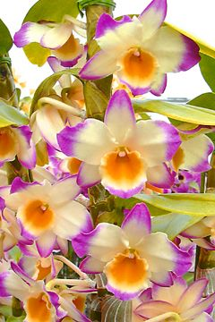 Dendrobium Fancy Lady 'Royal Princess'