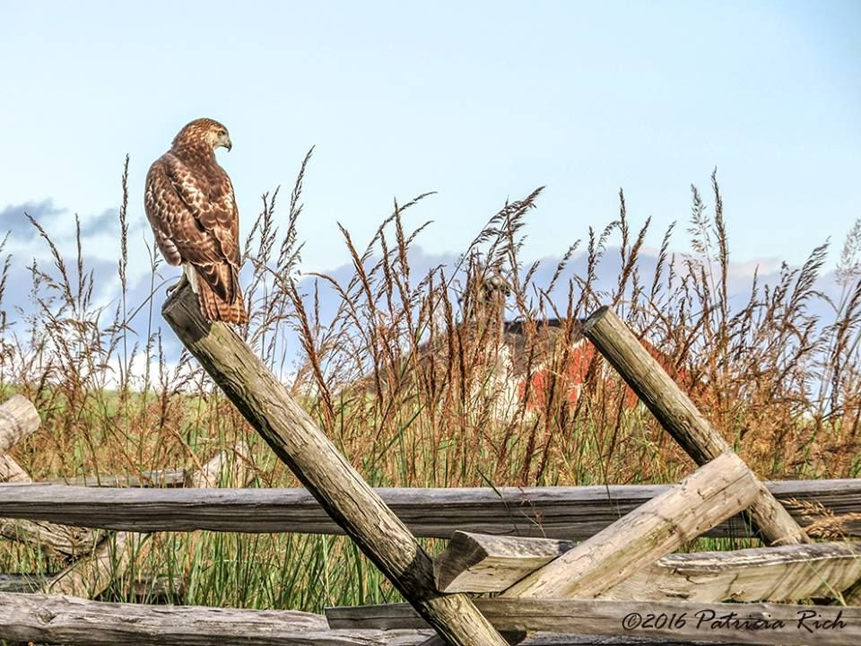 Red-tailed hawk in Excelsior Field - Sherfy barn in background.