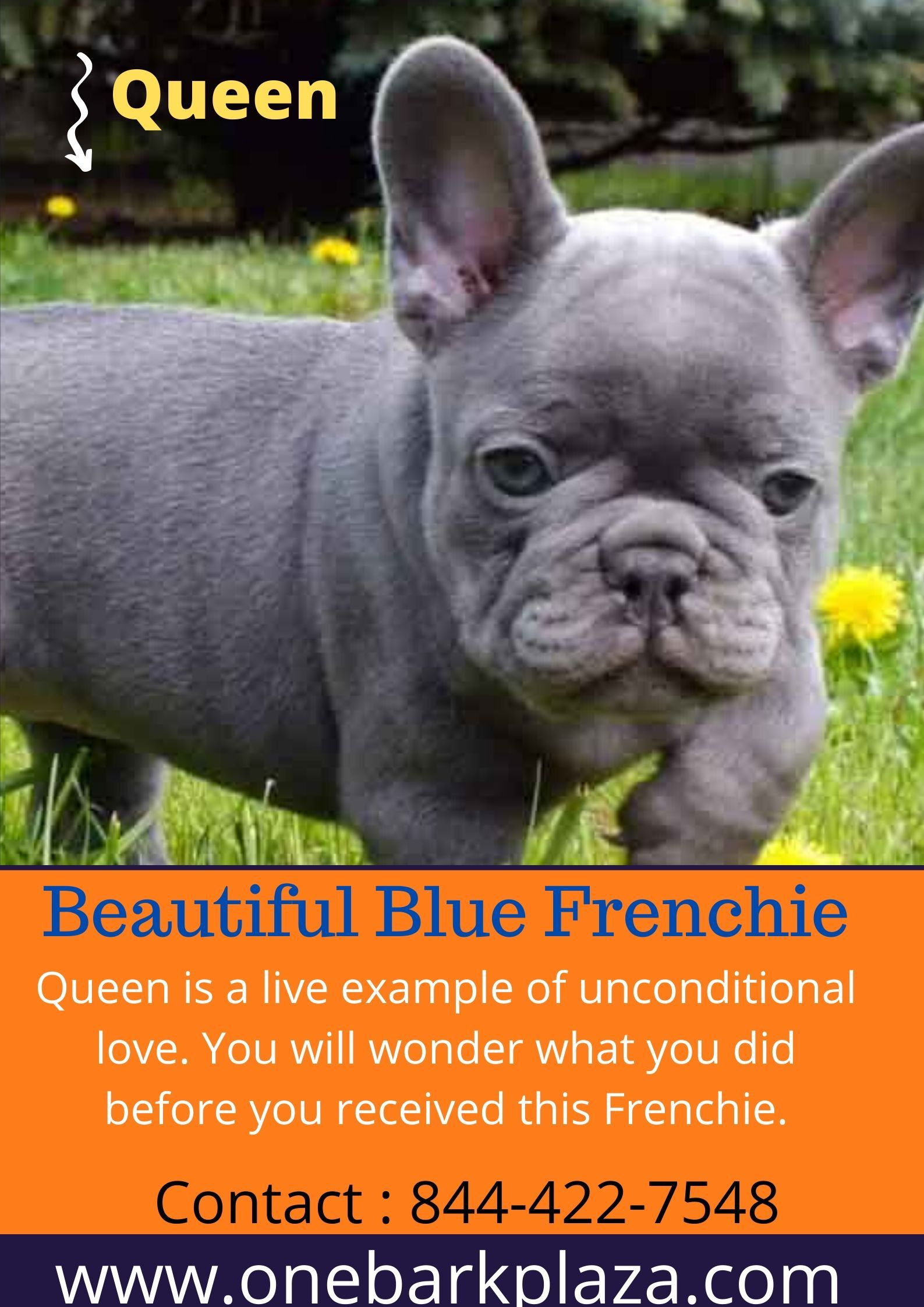 Blue Frenchie in 2020 Blue frenchie, Bulldog puppies for