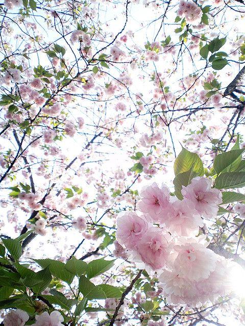 Double Cherry Blossoms Cherry Blossom Tree Cherry Blossom Blossom