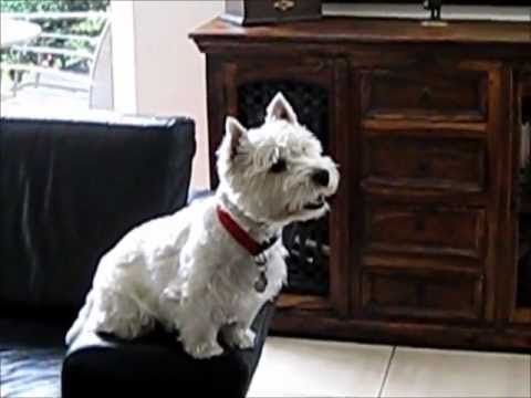 Westie Watching Movie Now What Cat Is Going To Do That Cynthia Avalos Westies Westie Dogs Dog Films