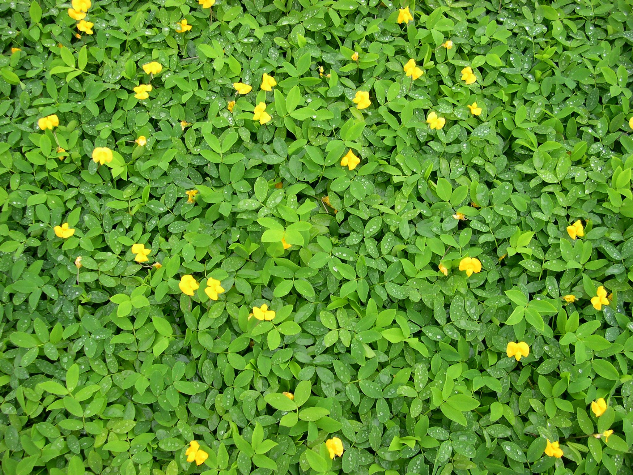 Central Florida Landscape Plants | Turfgrass alternatives offer ...