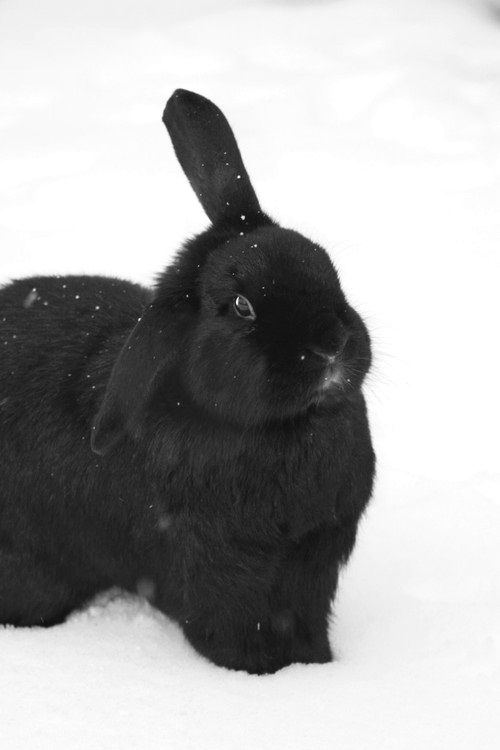 Black animals ~ cats, dogs and lop ear bunnies | Black Beauties ...