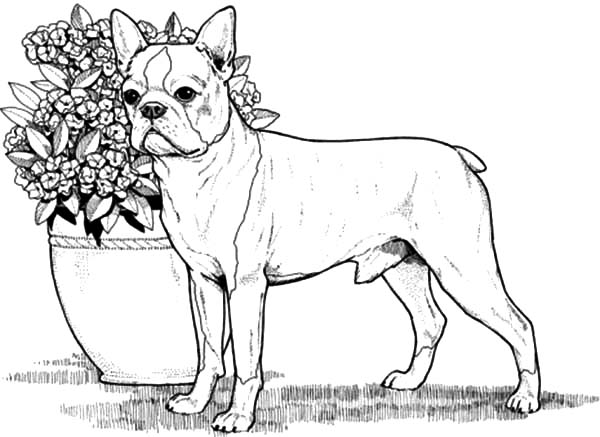Pin Auf Boxer Dog Coloring Pages