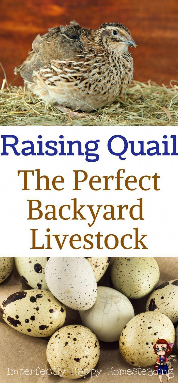 Raising Quail - The Perfect Backyard Livestock for ...
