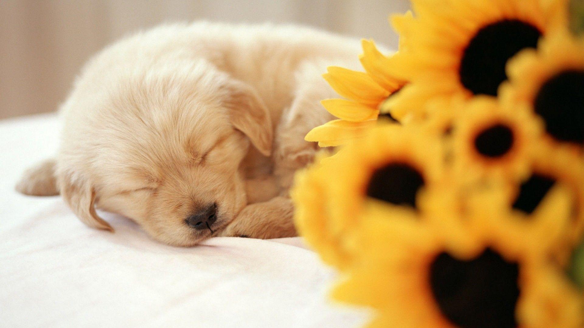 Wallpaper Cute Puppies Desktop Best Hd Wallpapers Puppy Wallpaper Puppy Backgrounds Sleeping Puppies