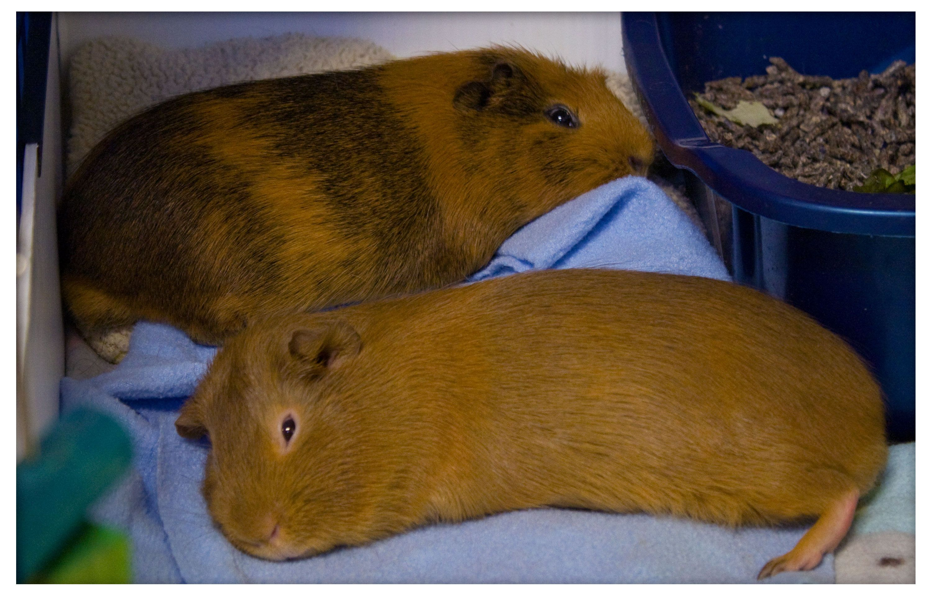 5 mon Mistakes Guinea Pig Owners Make