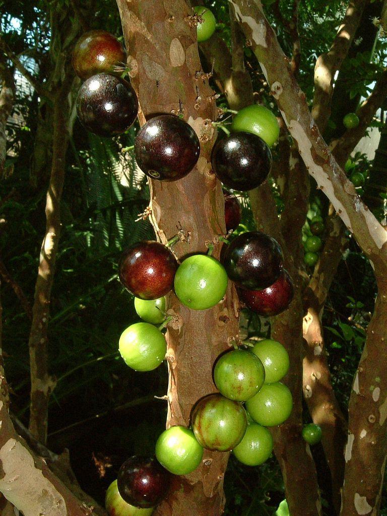 Jaboticaba A Wonderful Tree Grape Tree Fruit Bearing Trees Fruit Trees
