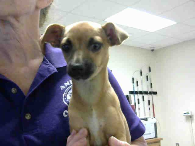 Chiweenie Dog For Adoption In Fayetteville Nc Adn 592635 On