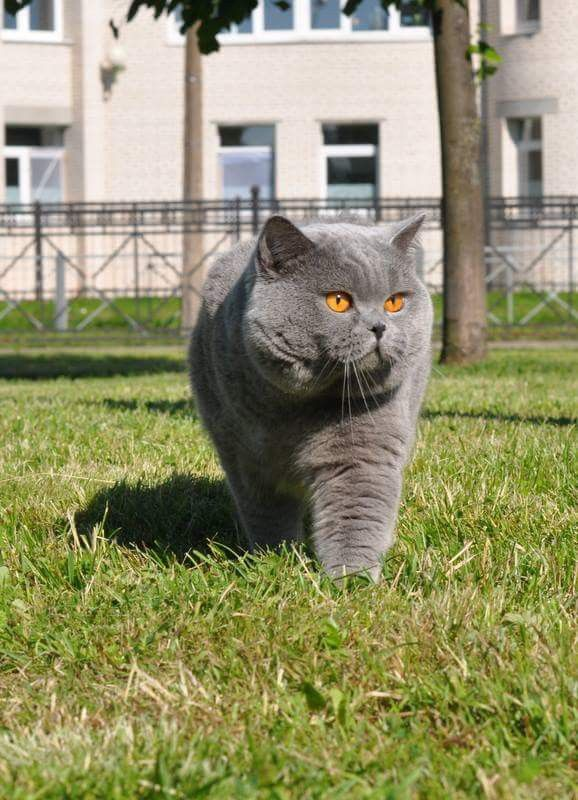 Bkh Kater Blue Beautiful Cats Cats And Kittens British Blue Cat