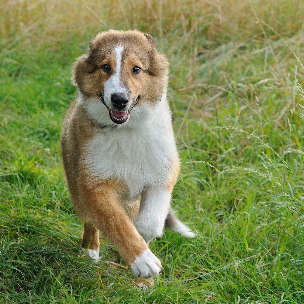free jigsaw puzzles online collie dog game jigsawpuzzle