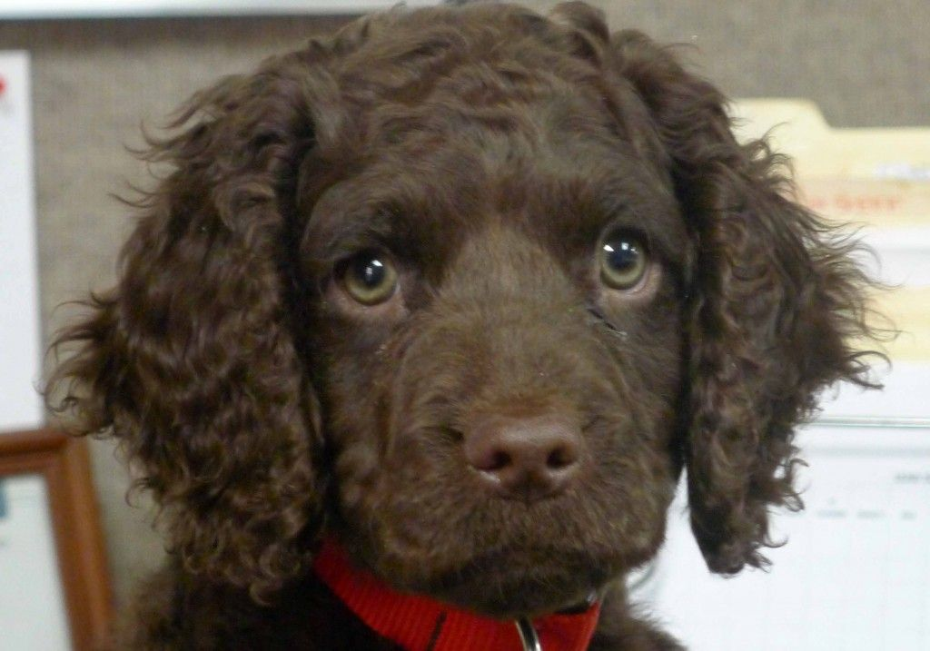 AWS from Little Brownies Kennel | American water spaniel ...