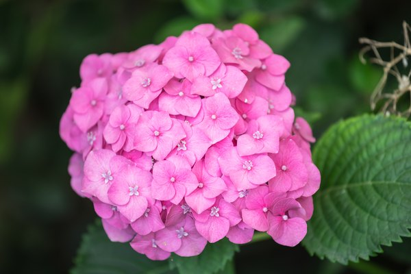 When To Plant Hydrangeas Outside In 2020 When To Plant Hydrangeas Planting Hydrangeas Limelight Hydrangea