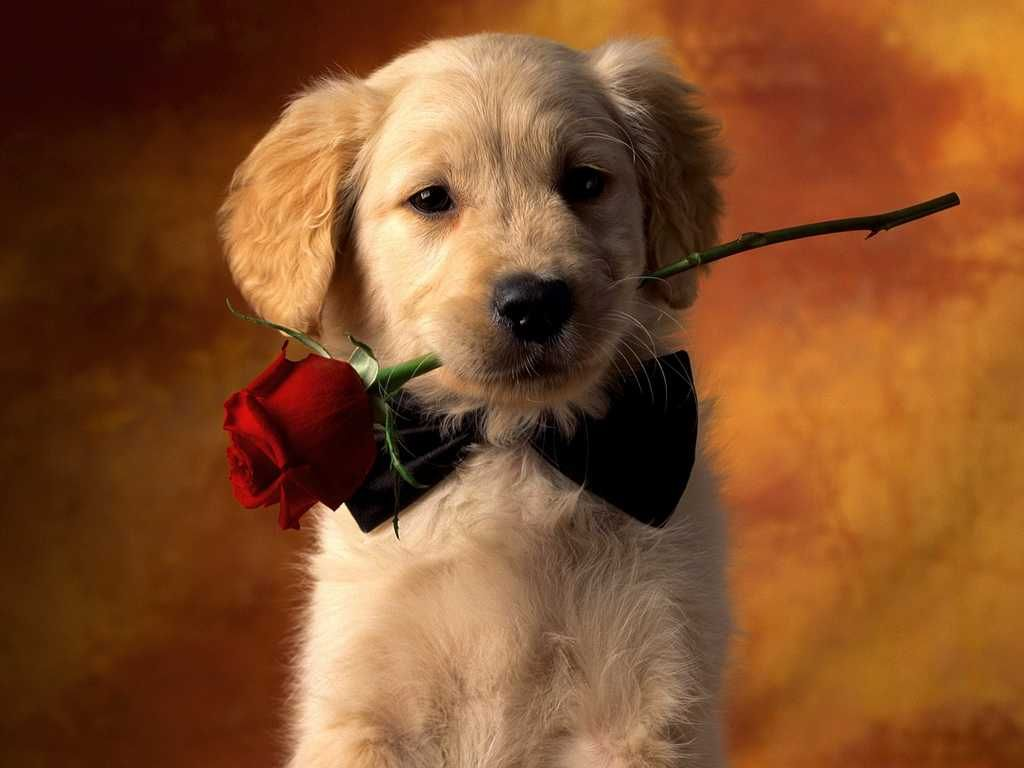 Images Of Cute Puppies Valentine Puppy Wallpaper Dog Wallpaper