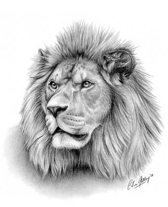 Majesty lion wildlife portrait pastel pencil drawing by giles illsley
