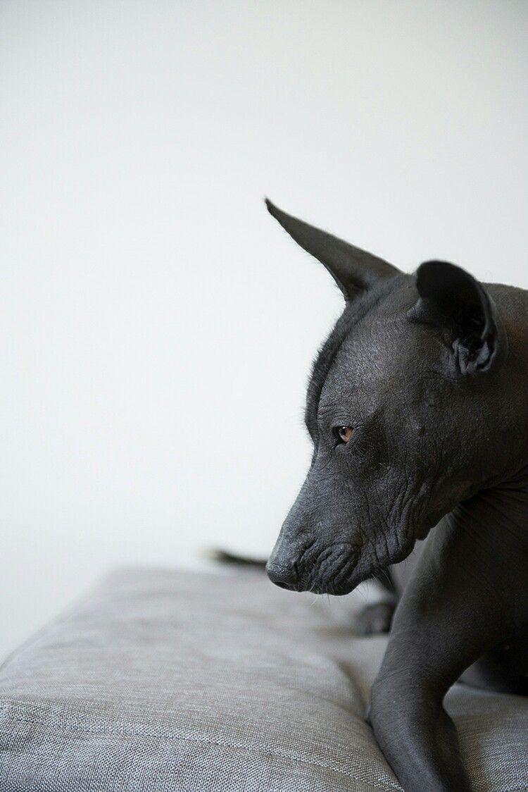 Pin De Precious Creature En Dog Photo Perro Xoloitzcuintle Perro Peruano Mascotas