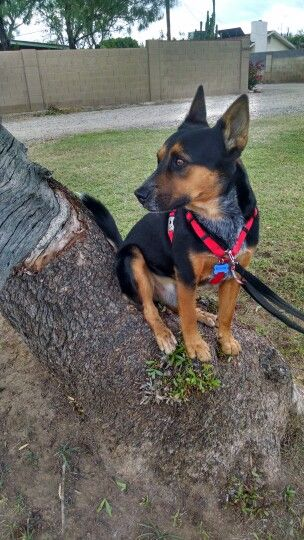 Australian Kelpie X Blue Heeler Blue Heeler Dog Kennel Australian Kelpie
