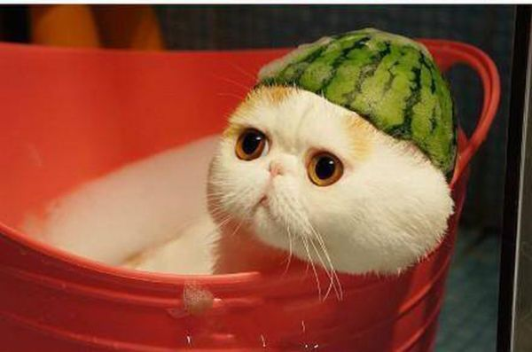 cute cat with watermelon hat kitties puppies and incredibly cute