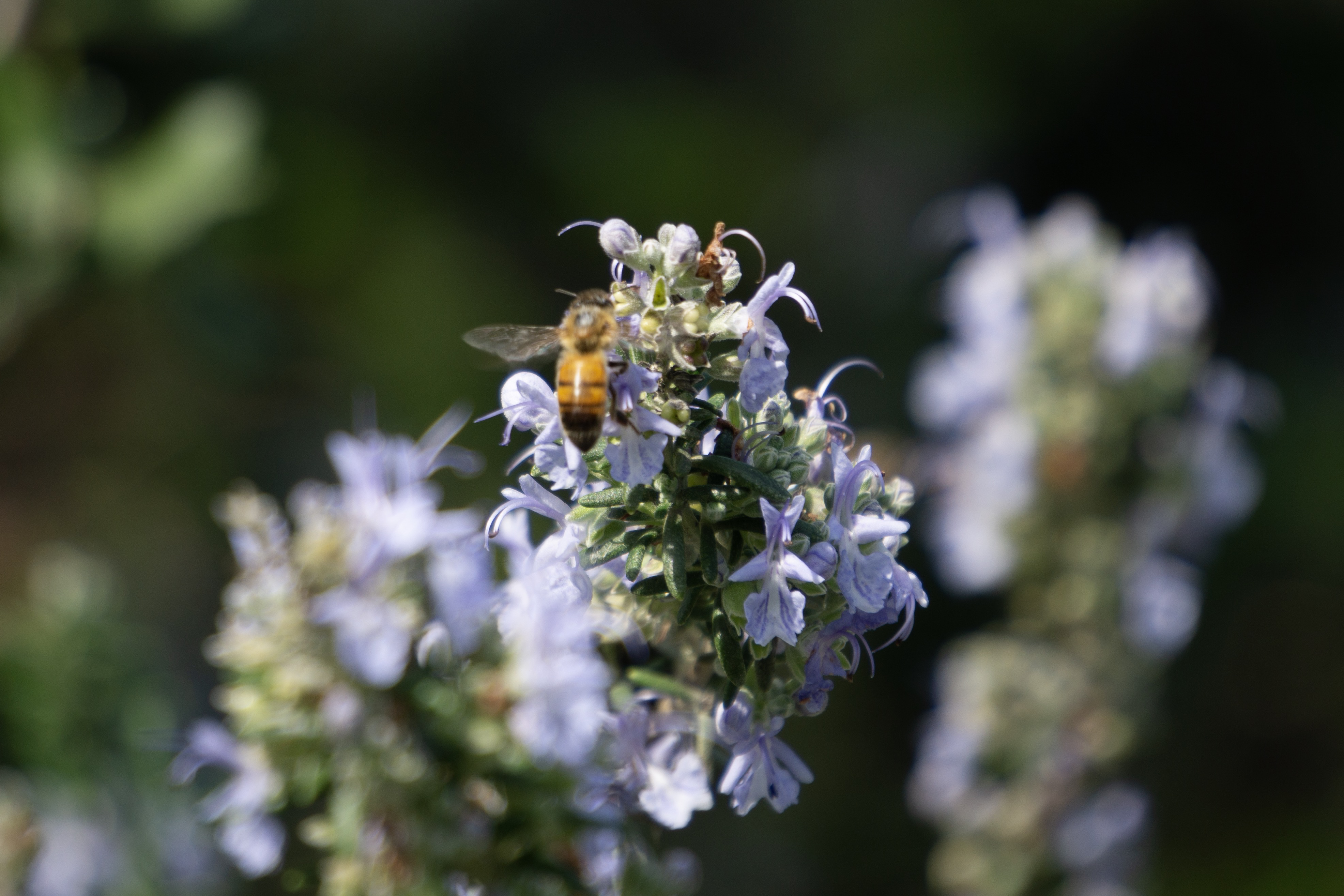 ITAP of a bee#PHOTO #CAPTURE #NATURE #INCREDIBLE