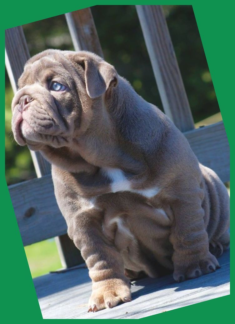 Training your Bulldog young puppy to pee outdoors is