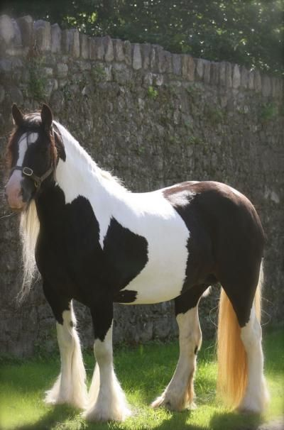 Gypsy Cob - from Clononeen Farms