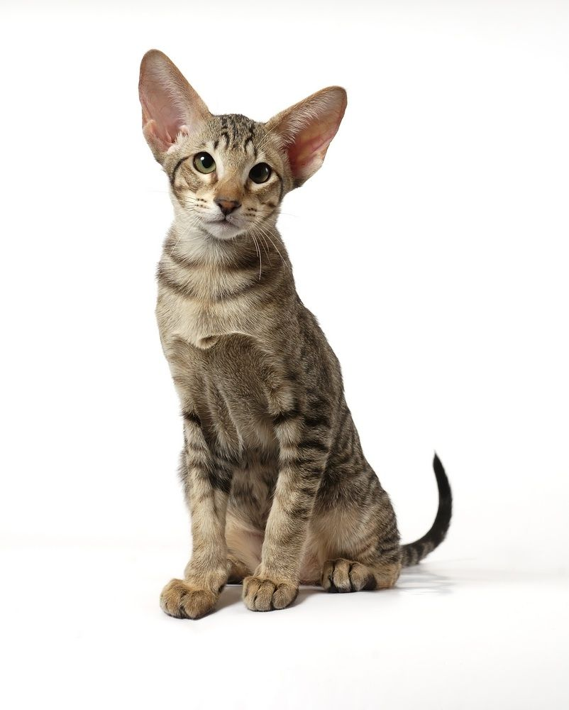 Oriental Tabby Cat Pictures