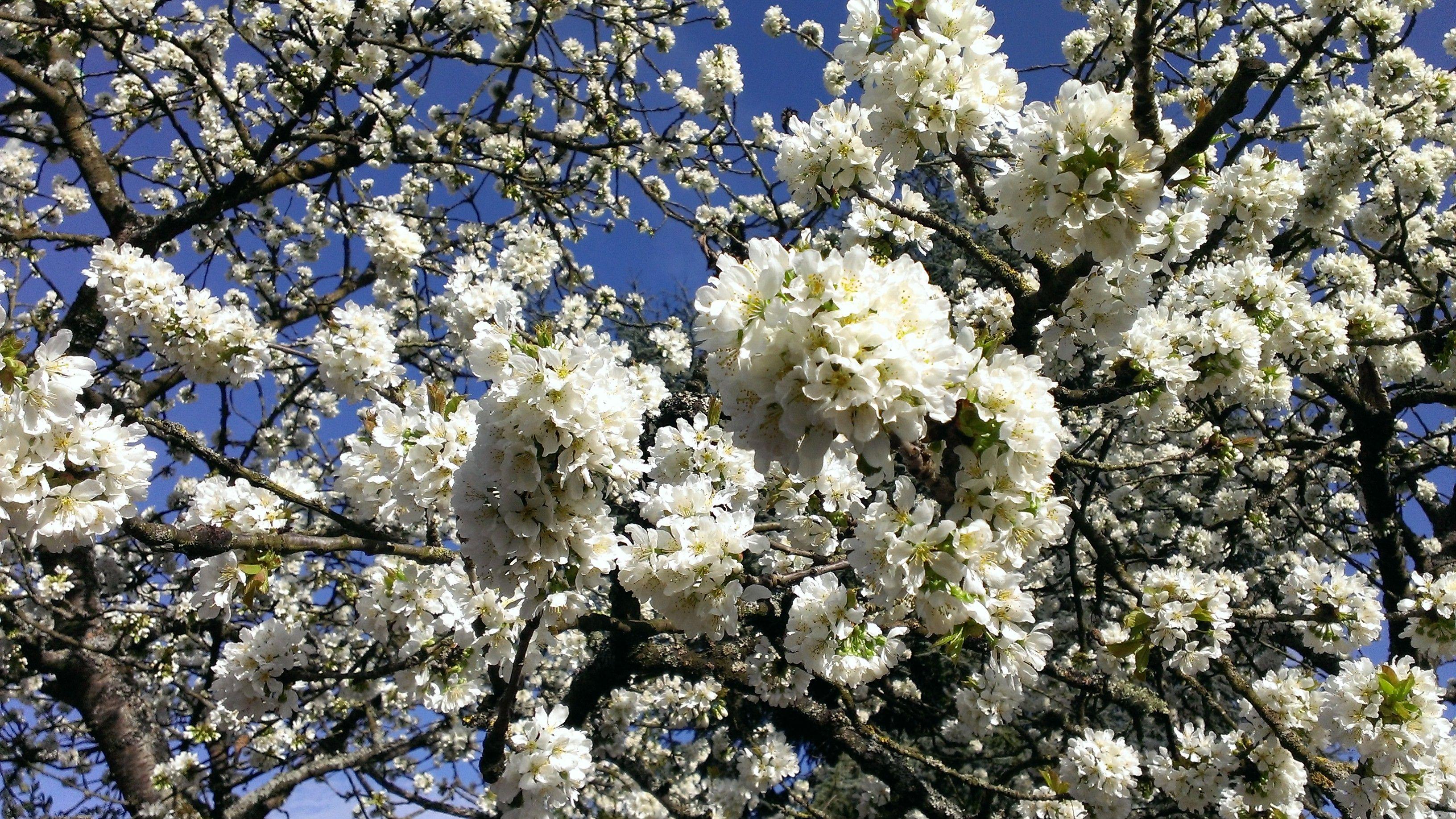 cerisier en fleur, c'est le printemps / spring is here !