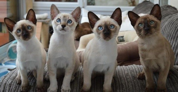 Chocolatedot Nemesis 2015 Litter Tonkinese Cat Cats And Kittens