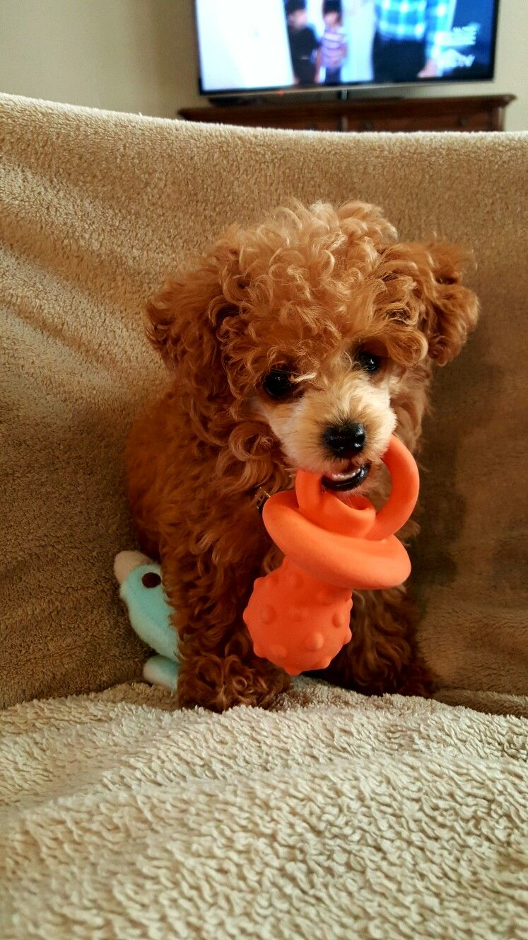Meet My Jax He S My Little 2 Pound Toy Poodle Toy Poodle