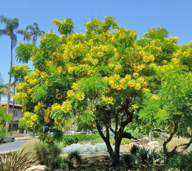Cassia leptophylla Gold Medallion Tree Florida Garden