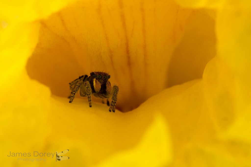A male peacock jumping spider hiding in a flower  Check out my website for prints, licensing or to contact me for image use requests:…