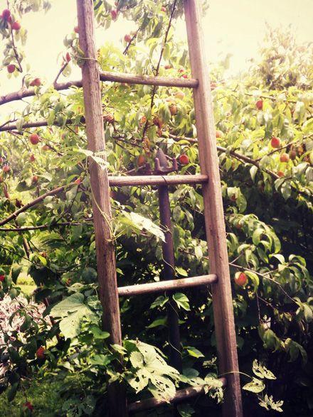 ladder as a trellis?