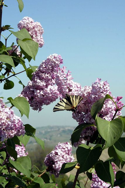 Inhale the perfume of lilacs! Spring is in the air!  Spring scene by duepadroni, via Flickr