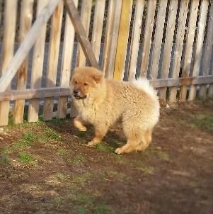 Meet Spencer A Petfinder Adoptable Chow Chow Dog Tenafly Nj