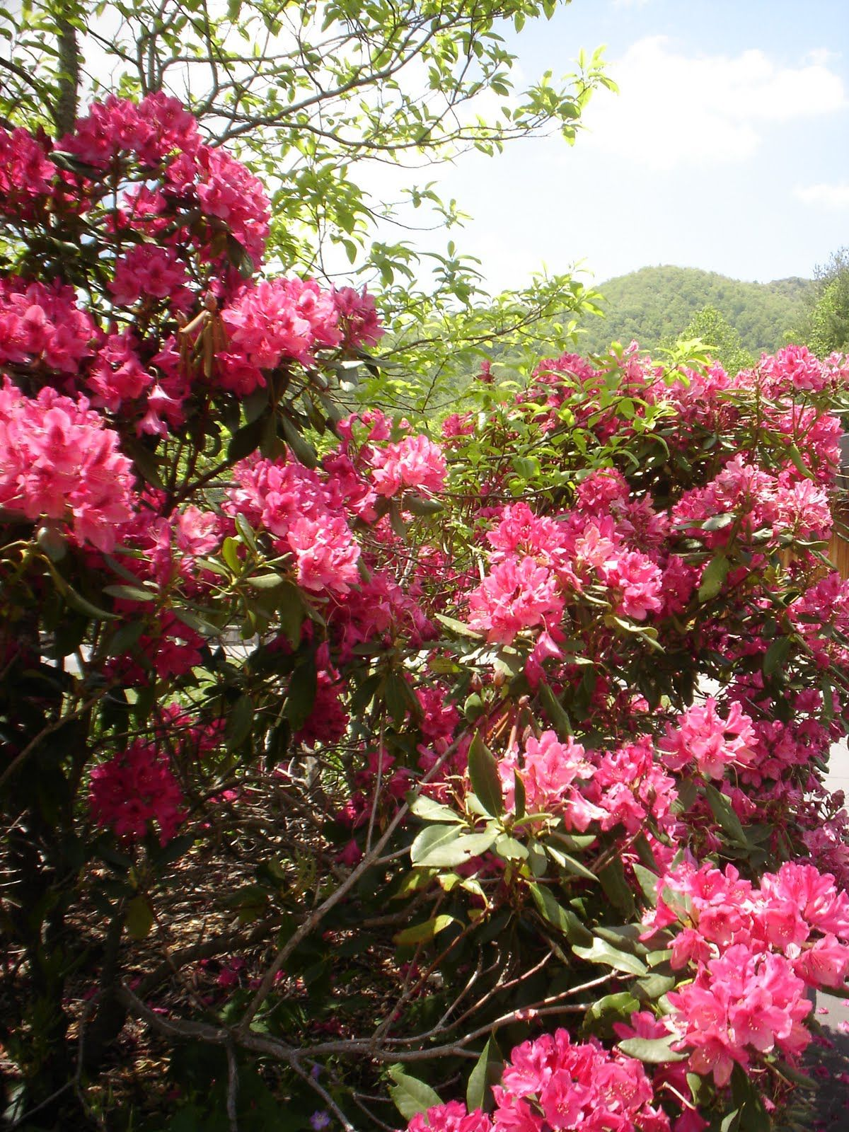 NC_Mountains_Spring_Rhodendrons.jpg (1200×1600)